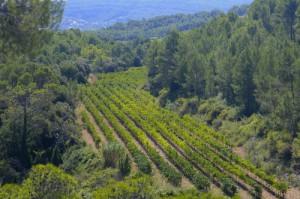 Les Valls-Vineyard
