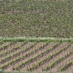 Cabernet Sauvignon and macabeo vineyards