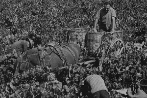 Harvest at Parés Baltà, 1952