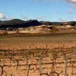 Syrah vineyard, winter, Hisenda Miret