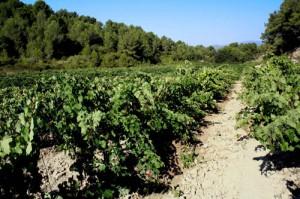 Merlot vineyard, La Torreta