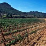 "The ""troll"" vineyard, Les Valls"