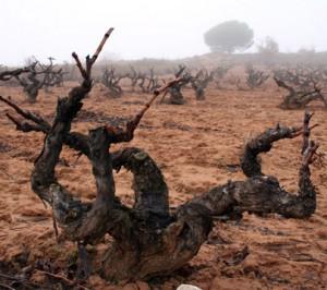 climate-ribera-del-duero-old-vines