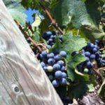 verema-2015-harvest-001