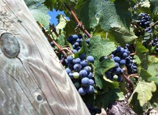 Informe de Vendimia 2015 verema 2015 harvest 001