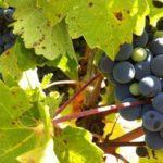 verema-2015-harvest-005