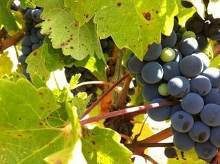 Informe de Vendimia 2015 verema 2015 harvest 005
