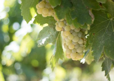 Traditional grape variety