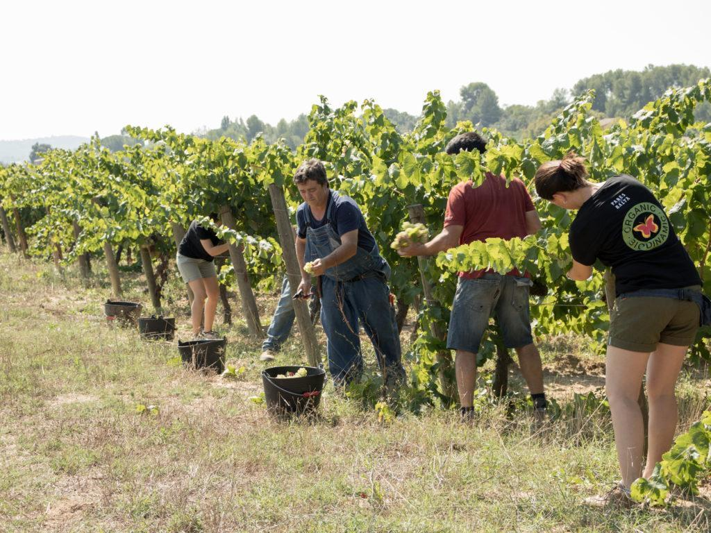 The culmination of a year of hard work – It´s harvest time! 20180823 verema macabeu 2018 2