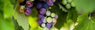 Organic and biodynamic farming; winegrower calendar