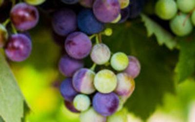 Viticultura ecológica y biodinámica; calendario del payés