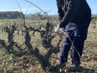 Winter Vineyard Task: Pruning