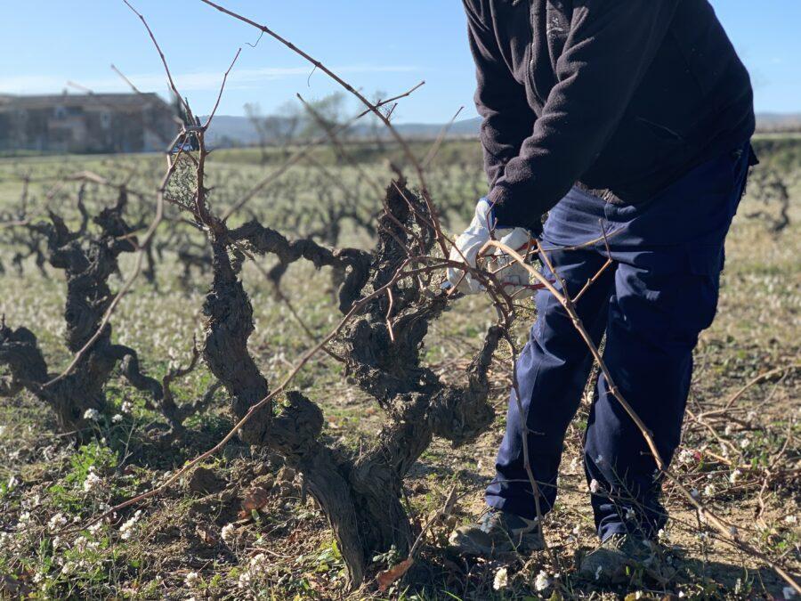 Viticultura de invierno: la poda de respeto