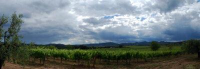 Observación del viñedo. El cambio climático y la lluvia.