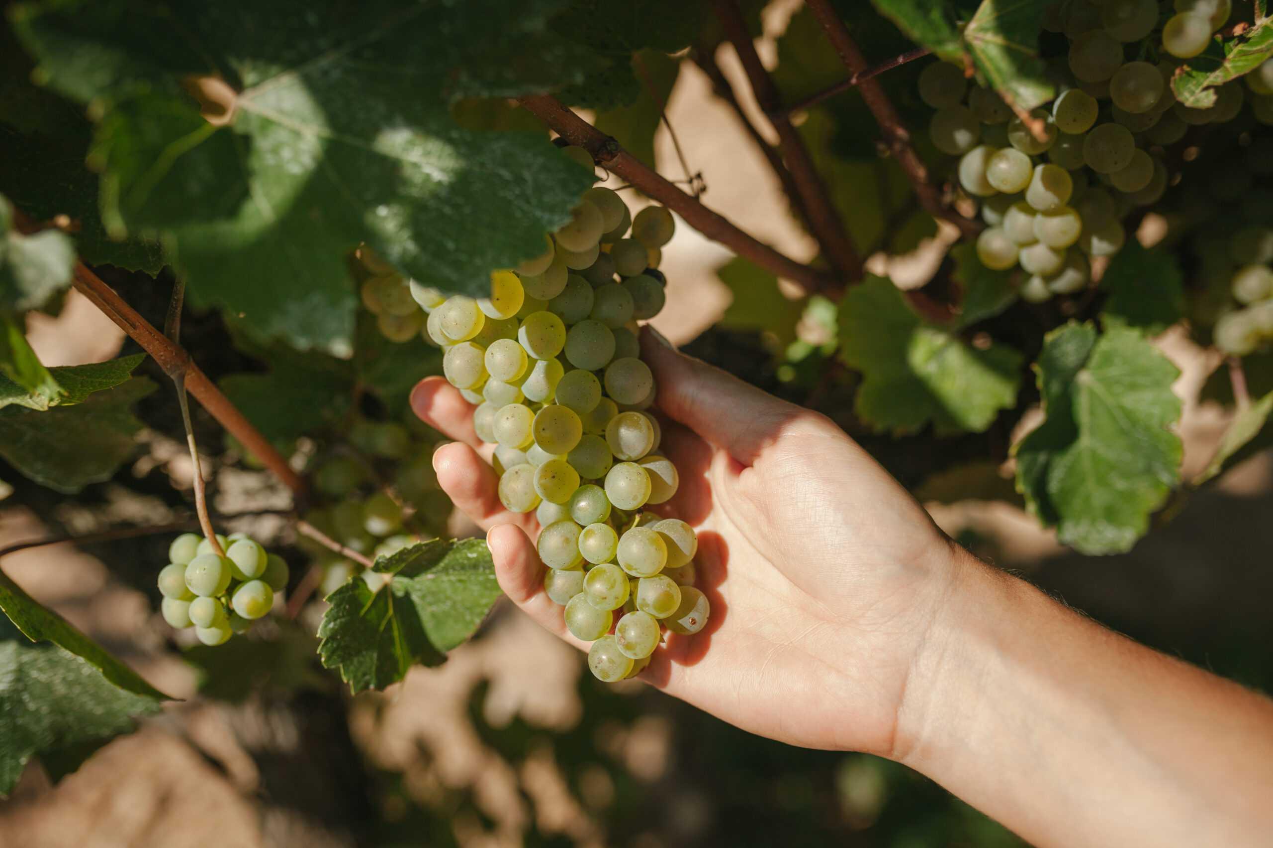 Uvas biodinamicas de Parés Baltà