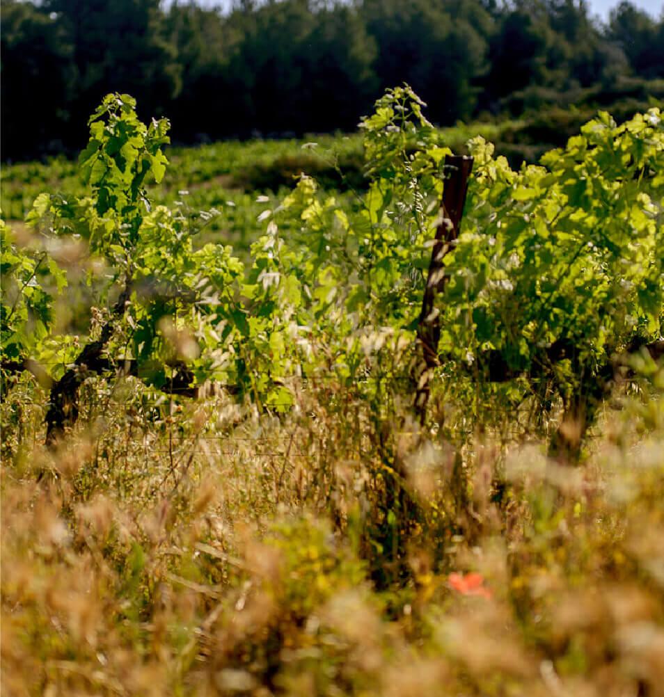 Viticultura biodinámica cubierta vegetal mesa de trabajo 1 1